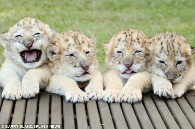 Cutest lion in the world - photo#49