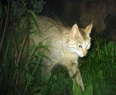 mtn cat in wild