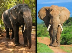 Asian-and-African-elephants