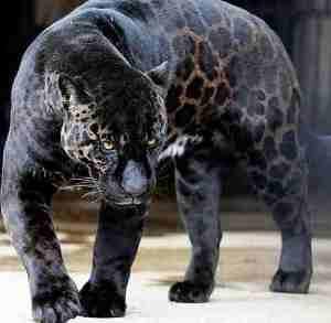 black-panther-2grgxfg