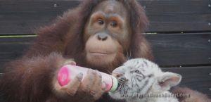 150513_dvo_pop_orangutan_33x16_1600